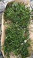 Mistletoe in France.jpg