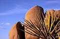 Mojave yucca (Yucca schidigera) and boulders (14674249427).jpg