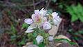 Molucca Bramble flower (15498413283).jpg