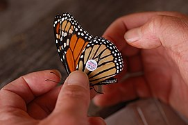 Monarch Butterfly Danaus plexippus Tagged 3008px.jpg