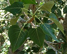 Mono Lake - Populus trichocarpa next to Lee Vinning Creek - branch and leaves.JPG