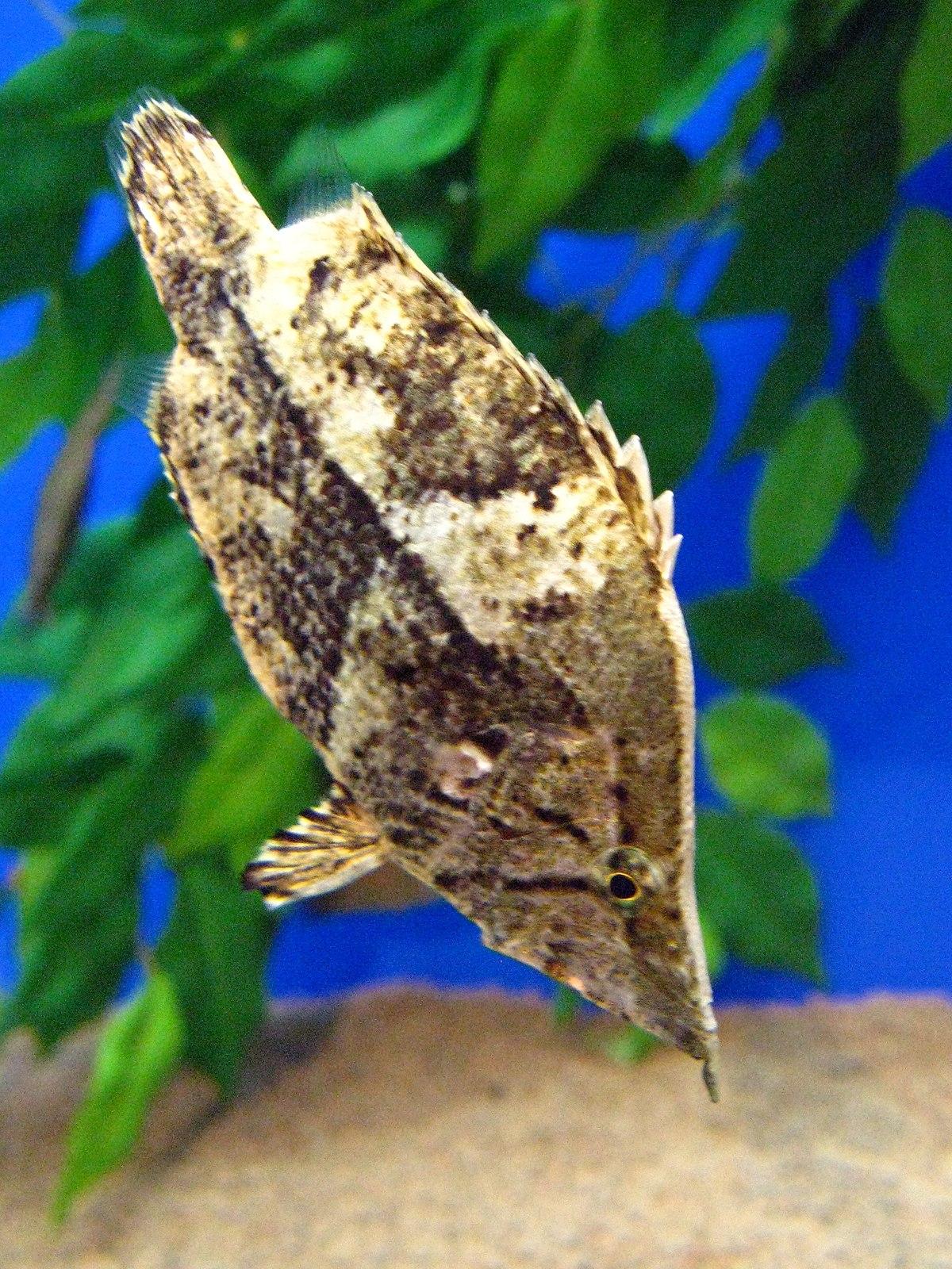 Amazon Leaffish Wikipedia