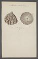 Monodonta scaber - - Print - Iconographia Zoologica - Special Collections University of Amsterdam - UBAINV0274 082 21 0003.tif
