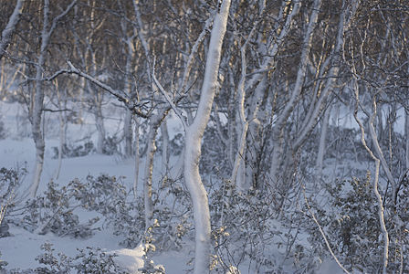 Montane Birch forests covered in snow and ice after a Winter storm.