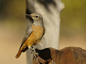 Short-toed rock thrush - Image: Monticola brevipes
