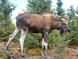 Young moose in Grönåsens Moosepark, Sweden