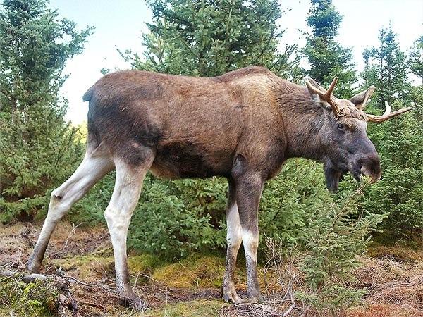 Moose-Gustav
