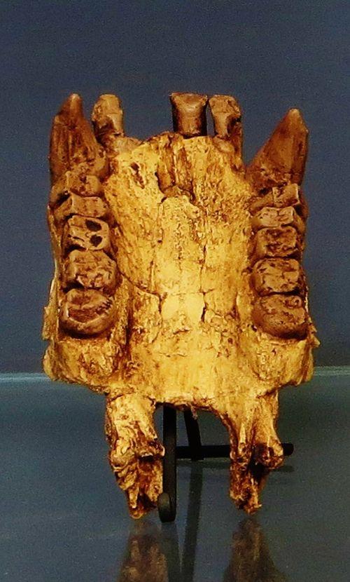 Morotopithecus