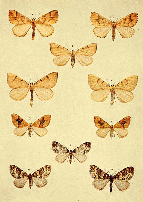 Moths of the British Isles Series2 Plate065.jpg