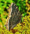 Mourning Cloak (Nymphalis antiopa) (7917962094).jpg