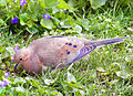 Mourning Dove feeding.jpg
