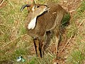 Moutain goat,Kasauli hills,Himachal Pradesh,India 02.jpg