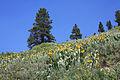 Mule ears Wyethia mollis hillside.jpg