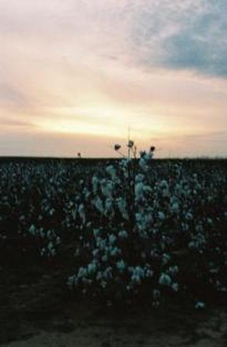 Munday, Texas - Cotton field west of Munday