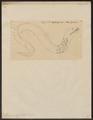 Muraena tessellata - 1700-1880 - Print - Iconographia Zoologica - Special Collections University of Amsterdam - UBA01 IZ15300049.tif
