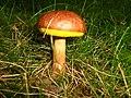 Mushroom (2744767685).jpg