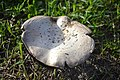 Mushroom With Black Gills (2).jpg