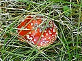 Mushroom ml.jpg