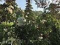 Mussoorie company bagh flowers.jpg