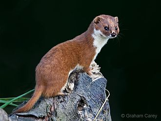 Least weasel - Image: Mustela nivalis
