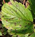 Mycosphaerella fragariae 2.jpg