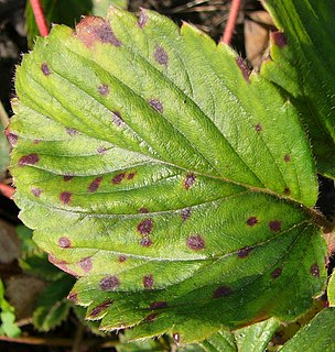 Common spot of strawberry Plant fungal disease