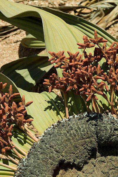 Παράξενα.. φυτά 401px-N-welwitschia-3