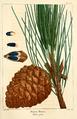 NAS-135 Pinus pinea.png