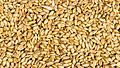 Naked wheat(Triticum aestivum) in Nepal-September 27, 2016-IMG 8015.jpg