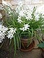 Narcissus papyraceus 'Paper-White Narcissus' (Amaryllidaceae) plant.jpg