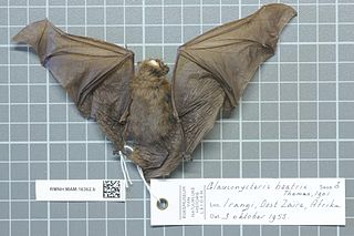Beatrixs bat species of mammal