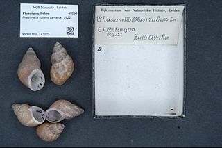 Phasianellidae Family of gastropods
