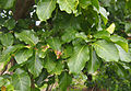 Nauclea foliage.jpg