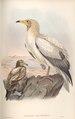 Neophron Percnopterus.tif