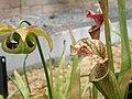 Nepenthe seedhead PB031239 03.jpg