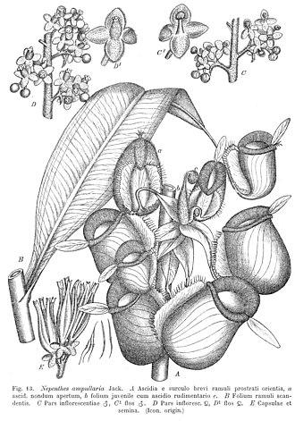 Nepenthaceae (1908 monograph) - Image: Nepenthes ampullaria Macfarlane illustration