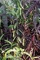 Nepenthes gracilis Bukit Bauk.jpg