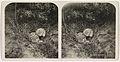 Nest met twee jonge zilvermeeuwen en een ei.jpeg