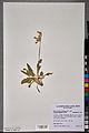 Neuchâtel Herbarium - Primula veris - NEU000101002.jpg
