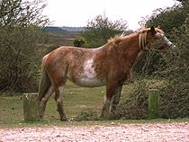 New Forest Pony.jpg