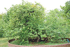Woolsthorpe Manor - The tree from which the famous apple is said to have fallen