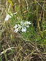 Nigella arvensis sl53.jpg
