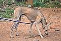 Nipper; 12 months old male Chippiparai dog 3.jpg