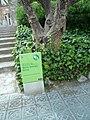 Nolina de Pedralbes P1510586.jpg