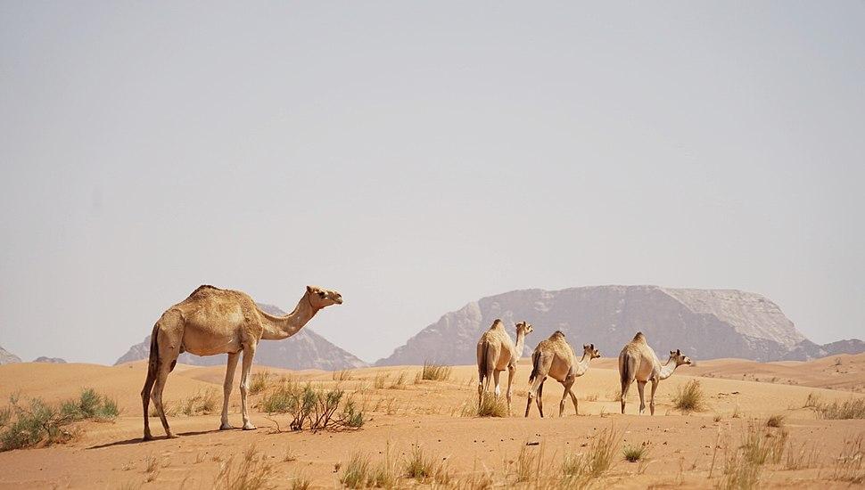 Nomadic Camels