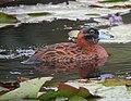 Nomonyx dominicus Pato enmascarado Masked Duck (15299299335).jpg