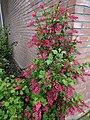 Noordwijk - Ribes op de hoek van een huis.jpg