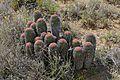 Noorsdoring (Euphorbia stellispina) (32770359946).jpg