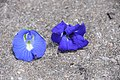 Normal and double Clitoria ternatea butterfly pea.jpg