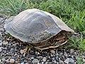 Northern Map Turtle (42972074982).jpg